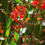 Crocosmia crocosmiiflora Red King