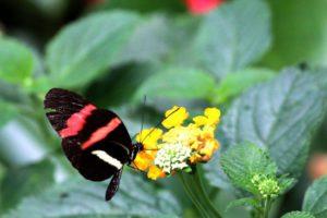 Vlinders aan de Vliet (Vlinder Postman)