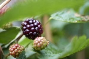 bramen - fruit uit eigen tuin