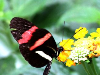 Vlinder-Postman