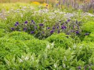 Mooi te combineren met vaste planten