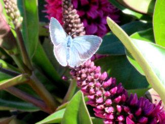 Vlinder op hebe