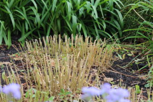 vaste planten snoeien