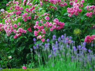 Rozen in tuin