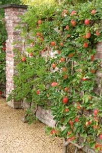 Appelboom langs een muur
