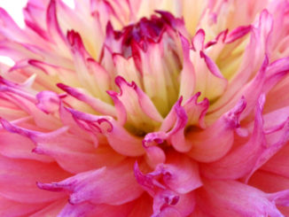 Dahlia roze spin