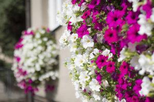 Hanging basket met witte en roze Surfinia