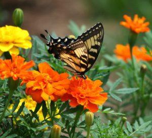 tagetes en vlinder