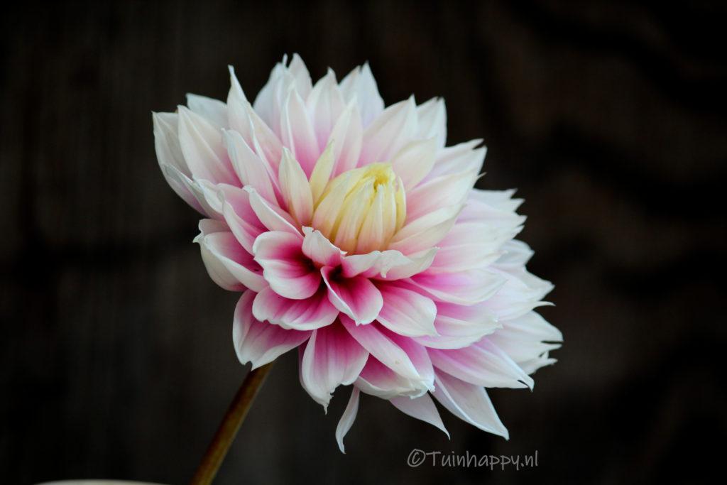 Dahlia roze wit