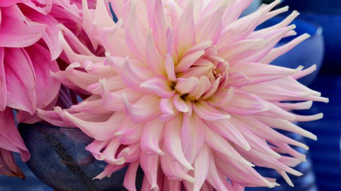 Roze spin dahlia