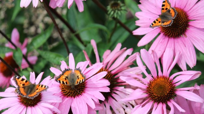 Echinacea trekt vlinders aan