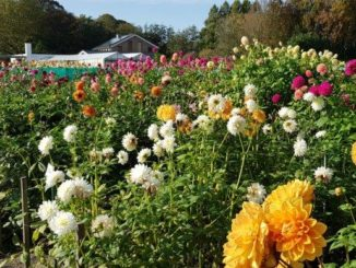 Dahlia showtuin in Heemstede