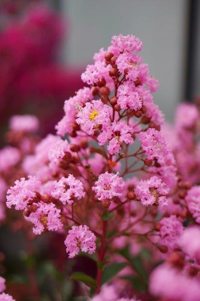 Bloemen van Lagerstroemeria Eveline