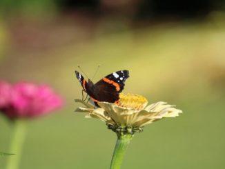 Vlinder- en bijenplanten