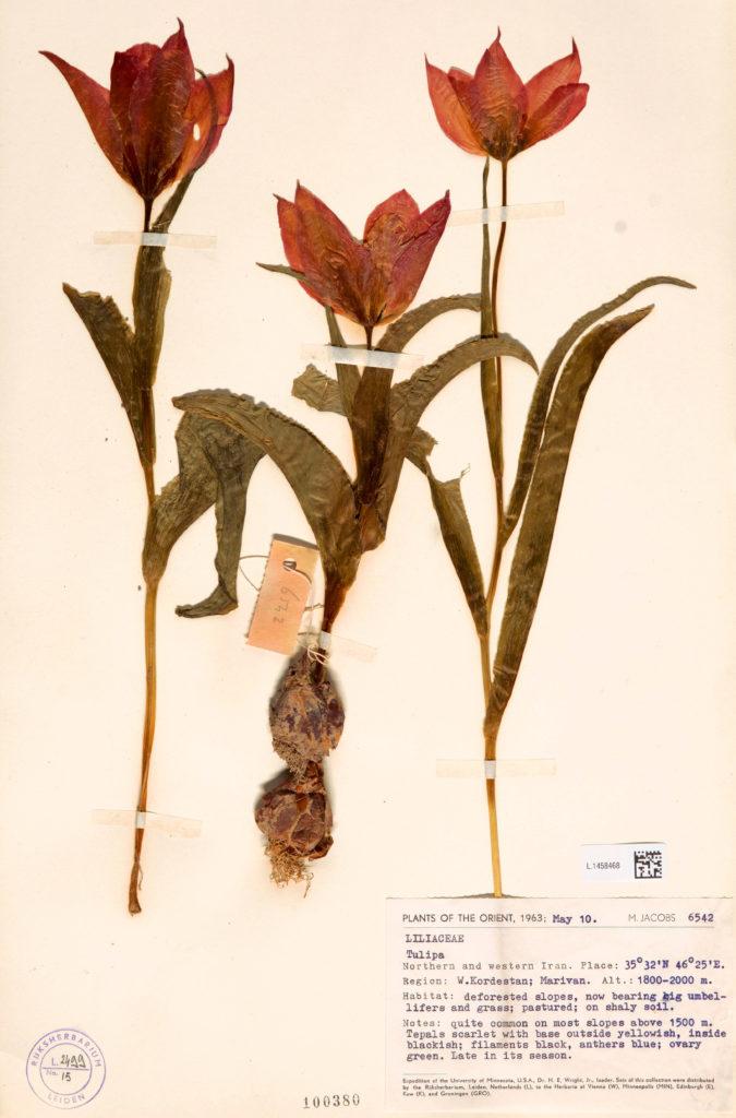 Tuinhappy.nl - herbarium Naturalis - tulipa