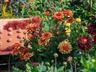 Dahlia's in diverse kleuren