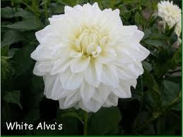 Dahlia - Alva White