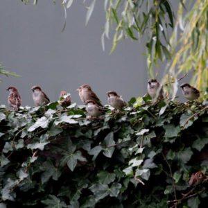 Vogels en hedera