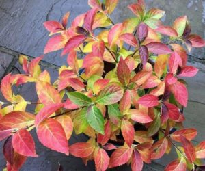 Prachtige najaarskleuren hortensia