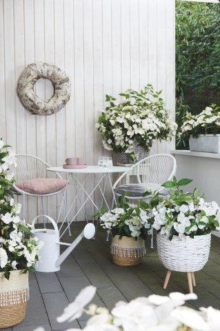 Witte hortensia in potten