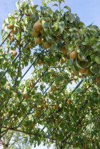 Pergola met fruitbomen