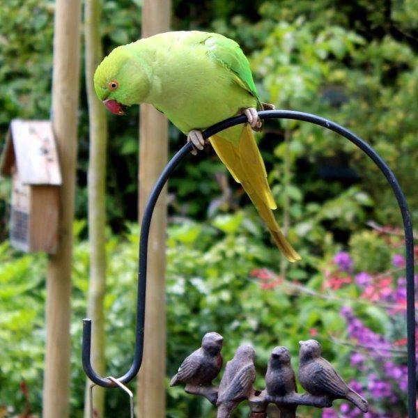 Papagaaivogel