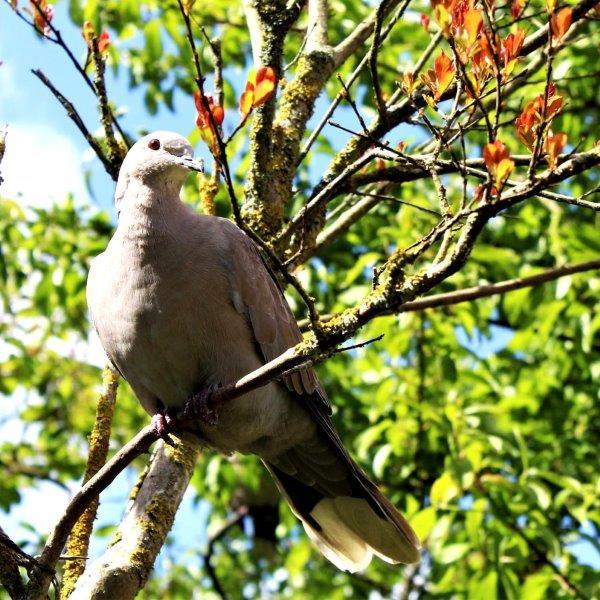 Duif in de boom - vogeltuin