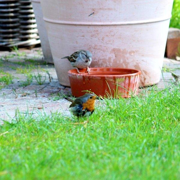 Vogeltuin met vogelbadje - mus en roodborst