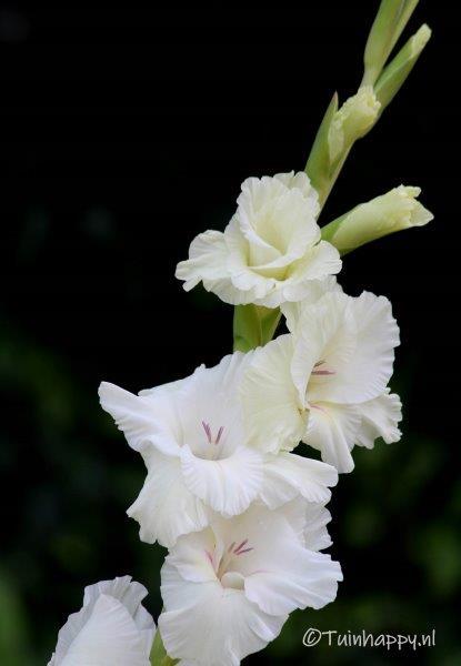 Witte gladiolen
