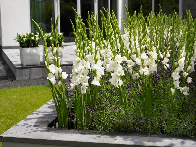 Witte gladiolen in de tuin