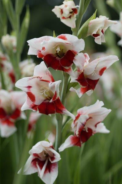 Gladiool rood wit