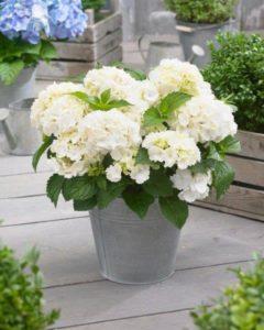 Witte hortensia in pot