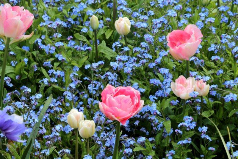 Vergeet-me-nietjes, tulpen en anemonen