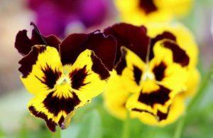 Tweekleurige viooltjes