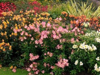 Alstroemeria in de border - Tuinhappy