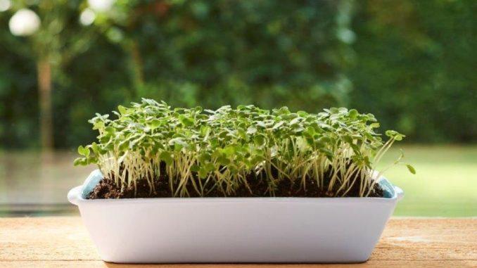 Microgreens - zelf kiemgroente kweken