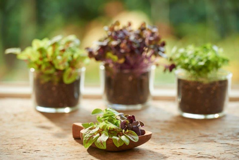 Microgreens in potjes