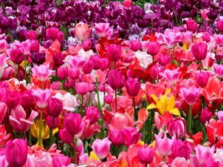Gemengde tulpen - tuinblogger - tuinhappy
