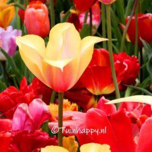 Verschillende soorten tulpen - tuinblogger - tuinhappy