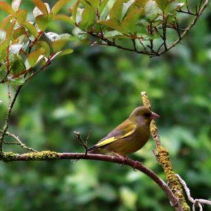 Groenling in een boom - vogels in de boom - Tuinblogger TuinHappy.nl