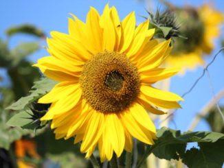 Zonnebloemen maken je blij