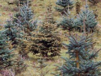 Kerstboom duurzaam herplanten tuinhappy tuinblogger blogger tuin