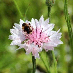 Roze korenbloem met insect