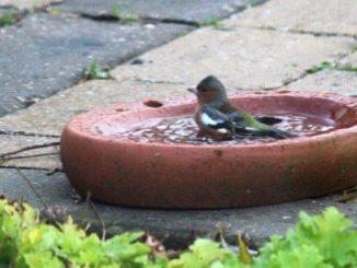 Vink in vogelbadje
