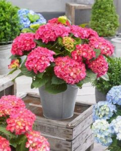 Roze hortensia in pot