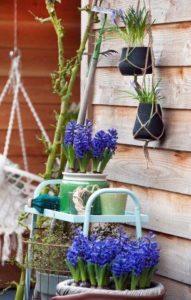 Hyacinten en blauwe druifjes in potten