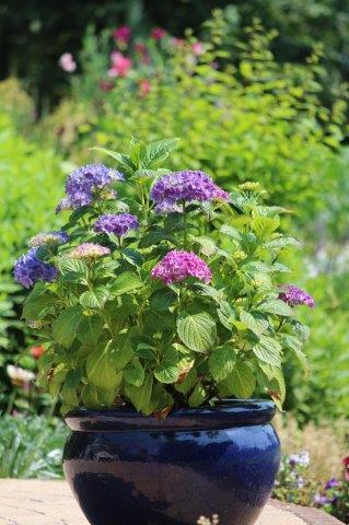 Blauwe hortensia in pot