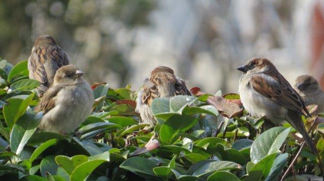 Vogels in de heg (foto: Vroege Vogels - AnnetPiet)