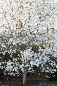 Bloesemboom (witte magnolia) - Koop een boom