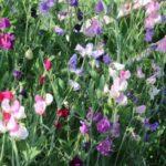 Lathyrus in de kas - zaaien in oktober - oogsten begin april